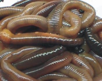 Kanadische Tauwürmer; Dose ca. 10 Stück