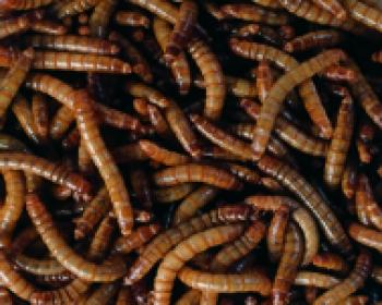 Mehlwürmer Dose 100 Gramm