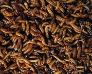 Buffalowürmer getrocknet 200g Beutel