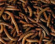 Mehlwürmer getrocknet 1000g Beutel