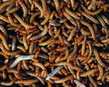 Mini-Mehlwürmer 500 Gramm