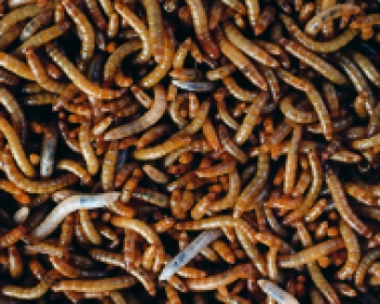 Mini-Mehlwürmer 1000 Gramm