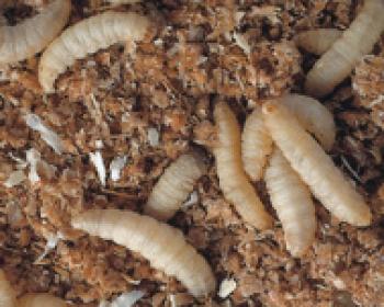 Wachsraupen-Bienenmaden  Dose 50 Stück