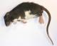 gefrorene Ratte klein